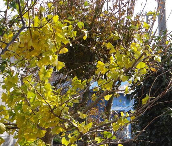 実生のアマリリスの植え替え、庭の銀杏など_a0136293_17191396.jpg