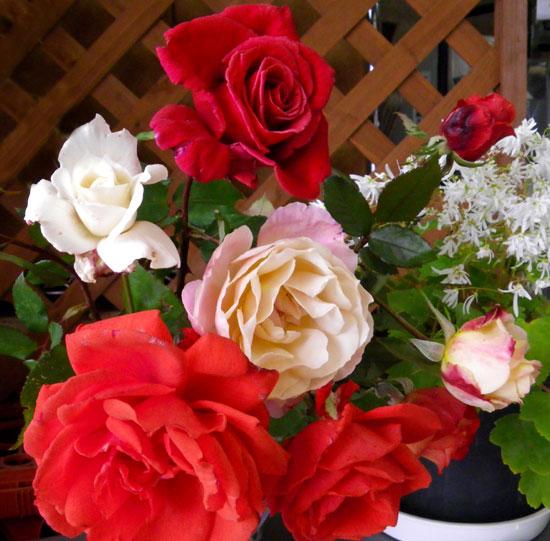 実生のアマリリスの植え替え、庭の銀杏など_a0136293_17273250.jpg