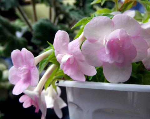 実生のアマリリスの植え替え、庭の銀杏など_a0136293_1729536.jpg