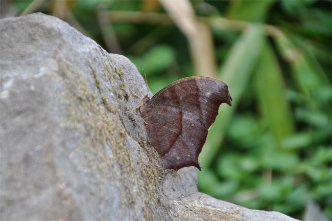 2012年11月の蝶_e0194952_802291.jpg