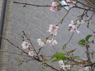 庭の10月桜と紅葉_b0115553_17442982.jpg