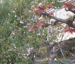 庭の10月桜と紅葉_b0115553_17454793.jpg