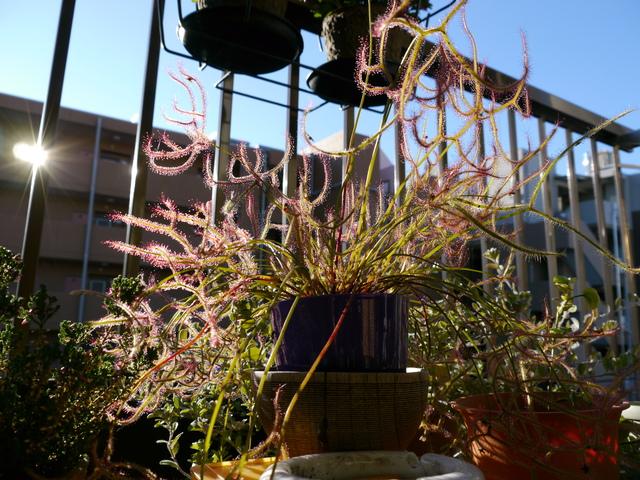 【観察記】食虫植物モウセンゴケ_e0149596_2212444.jpg