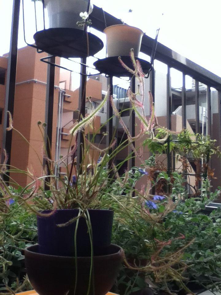 【観察記】食虫植物モウセンゴケ_e0149596_22345685.jpg
