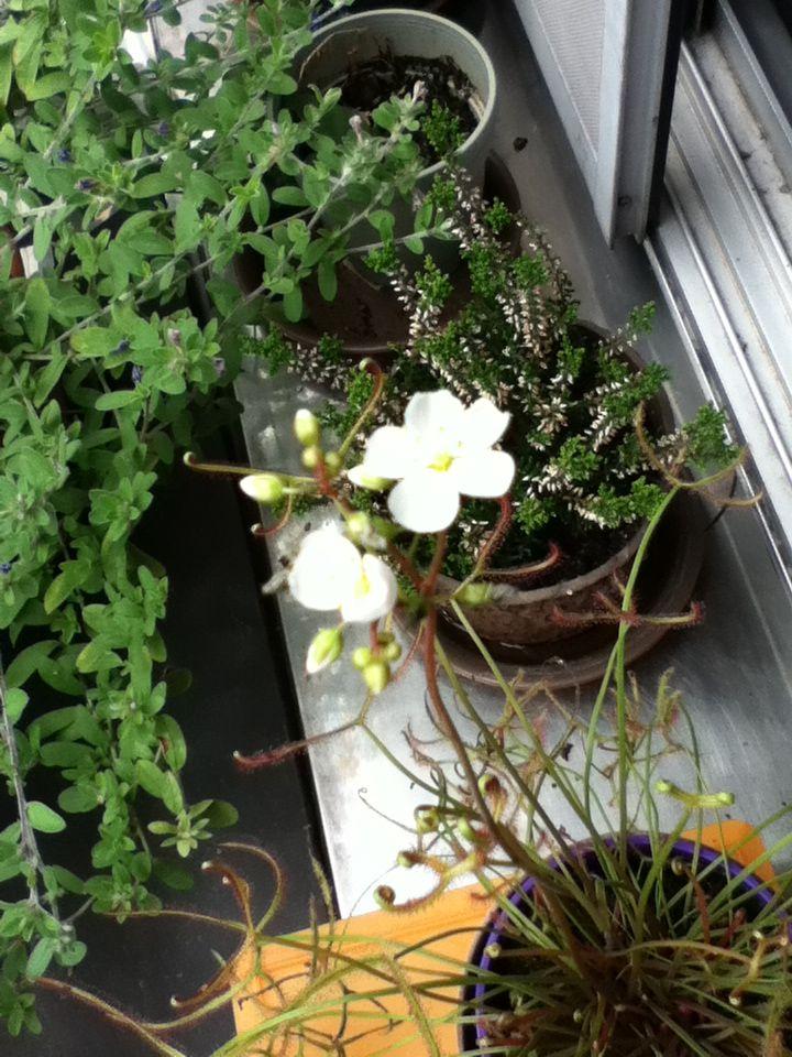 【観察記】食虫植物モウセンゴケ_e0149596_22351025.jpg