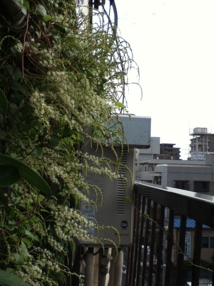 【観察記】食虫植物モウセンゴケ_e0149596_22351325.jpg