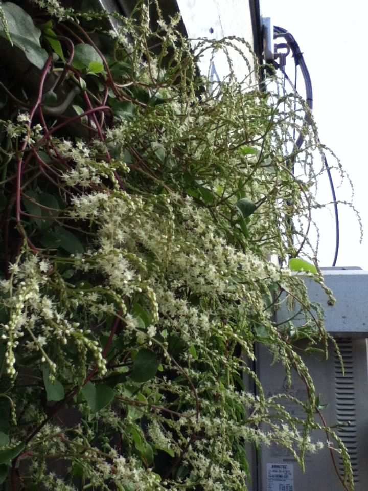 【観察記】食虫植物モウセンゴケ_e0149596_22351446.jpg