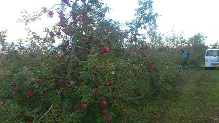 りんごの季節_b0237604_730569.jpg