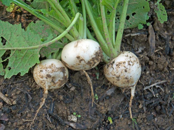 コカブ初収穫、石川早生の親芋に小芋が26個:12・11・8_c0014967_11442128.jpg