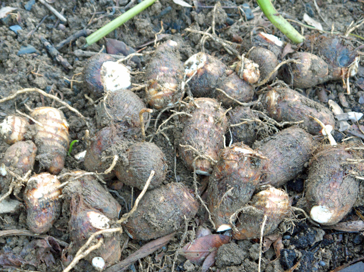 コカブ初収穫、石川早生の親芋に小芋が26個:12・11・8_c0014967_1145364.jpg