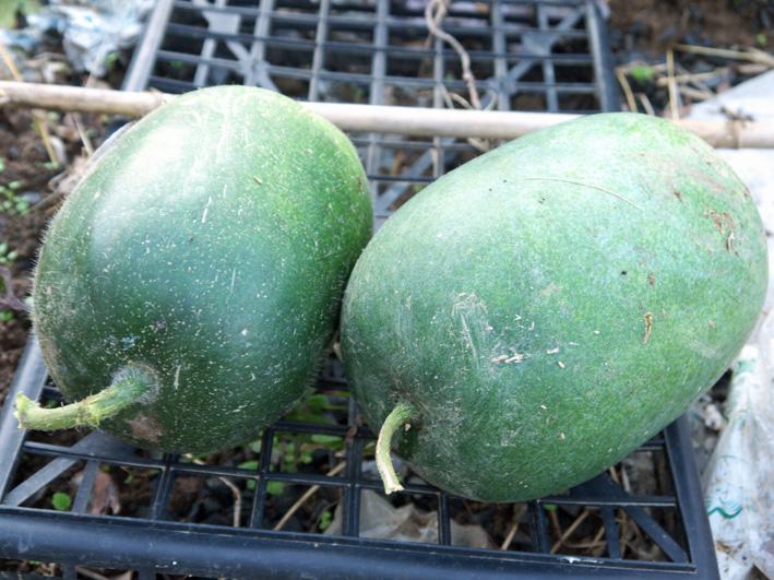 コカブ初収穫、石川早生の親芋に小芋が26個:12・11・8_c0014967_11462751.jpg