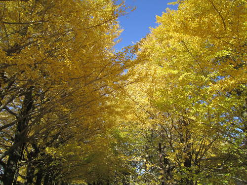 国営昭和記念公園の黄葉&紅葉_a0180279_1833952.jpg