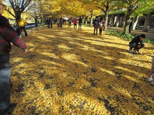 国営昭和記念公園の黄葉&紅葉_a0180279_19243449.jpg