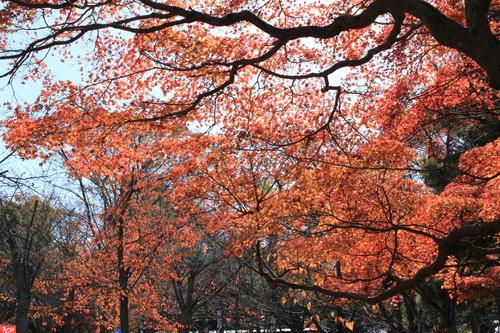 円山公園 紅葉_d0202264_19255070.jpg
