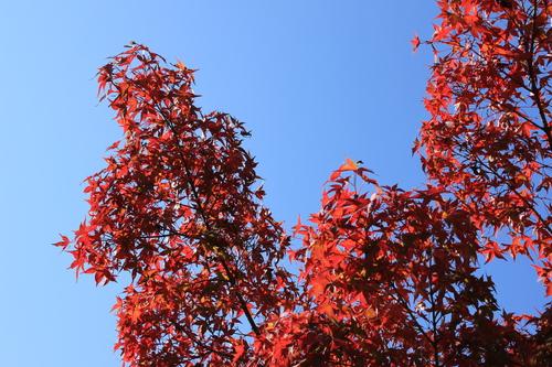 円山公園 紅葉_d0202264_19255820.jpg