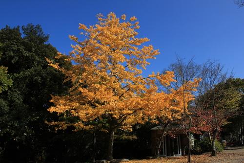 円山公園 紅葉_d0202264_19264280.jpg