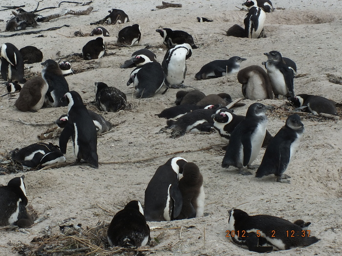 Africa-28 ボルダーズ・ビーチのベンギン / Penguins of Boulders Beach_e0140365_2039160.jpg