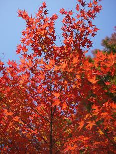 紅葉(こうよう)見頃です!_f0226293_874158.jpg