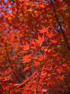 紅葉(こうよう)見頃です!_f0226293_88010.jpg