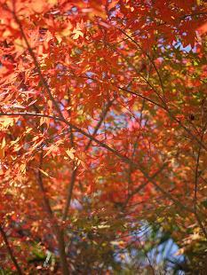 紅葉(こうよう)見頃です!_f0226293_881293.jpg