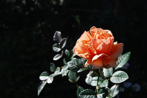 秋のボタニックガーデン : 秋バラ編_c0124100_17344163.jpg