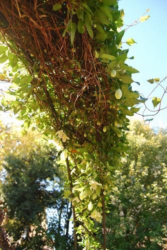 秋のボタニックガーデン : シルホサ編_c0124100_17475685.jpg