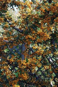 秋のボタニックガーデン : 秋の花、風景編_c0124100_18304775.jpg