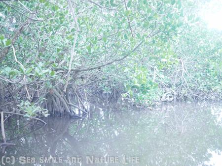 マングローブジャングルへ♪_a0155606_20501343.jpg