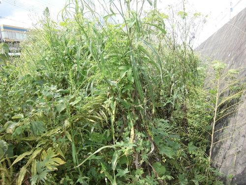 小潤井川の菜の花と、打ち上げられたたくさんの魚_f0141310_7532748.jpg