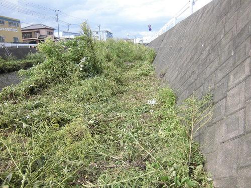 小潤井川の菜の花と、打ち上げられたたくさんの魚_f0141310_7535614.jpg