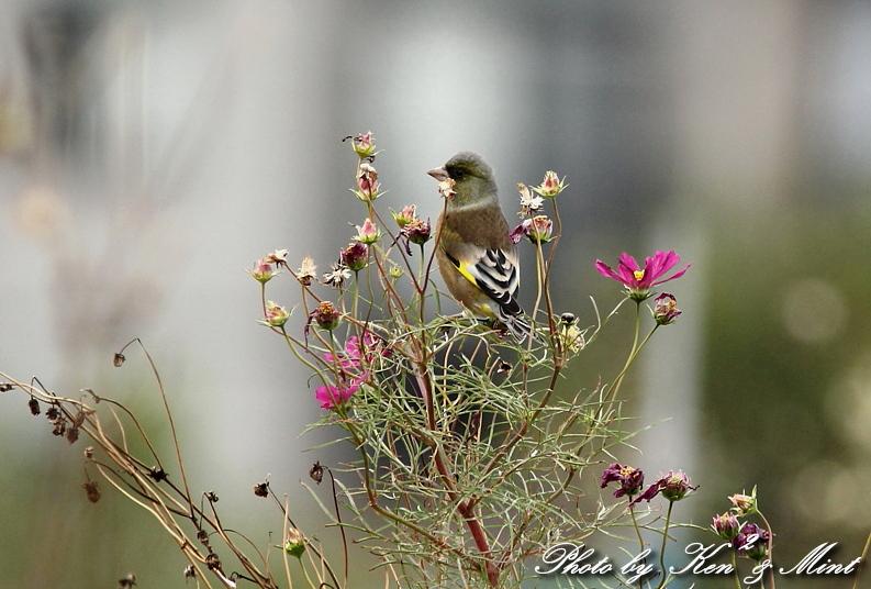 コスモス畑の鳥さん達「カシラダカ」「カワラヒワ」さん♪_e0218518_23414486.jpg