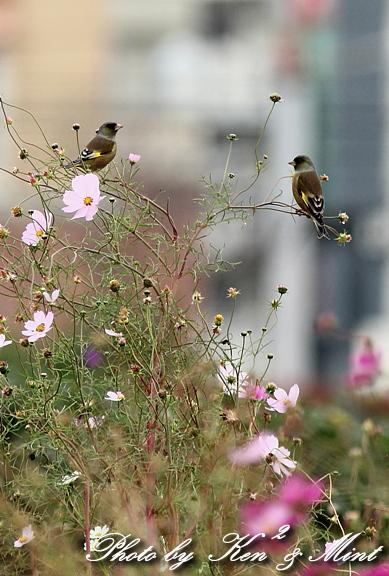 コスモス畑の鳥さん達「カシラダカ」「カワラヒワ」さん♪_e0218518_23415436.jpg