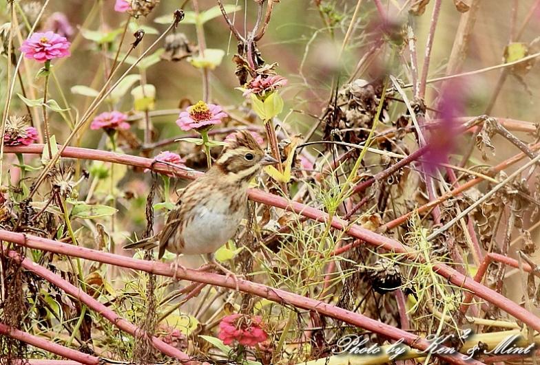 コスモス畑の鳥さん達「カシラダカ」「カワラヒワ」さん♪_e0218518_2341545.jpg