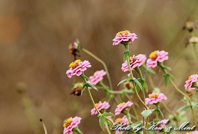 コスモス畑の鳥さん達「カシラダカ」「カワラヒワ」さん♪_e0218518_23423797.jpg