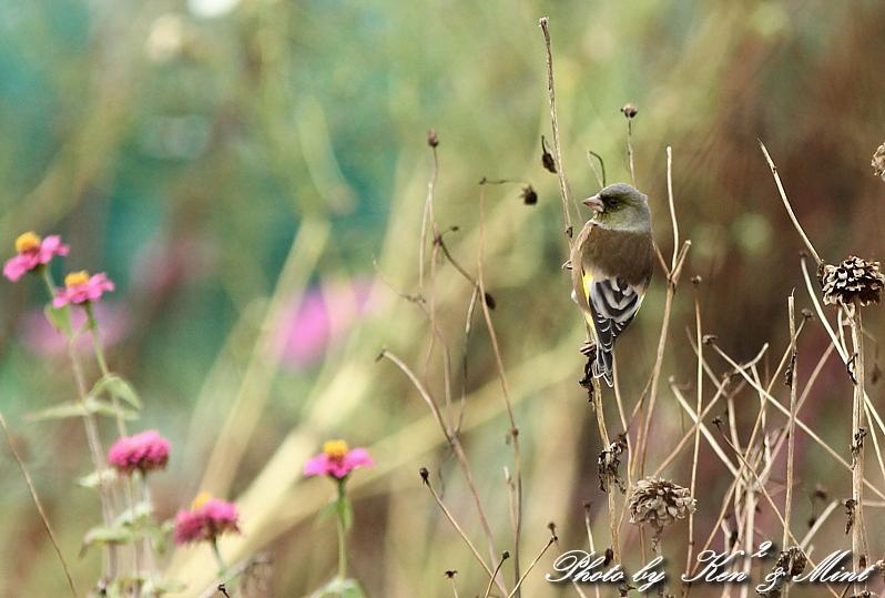 コスモス畑の鳥さん達「カシラダカ」「カワラヒワ」さん♪_e0218518_2342475.jpg