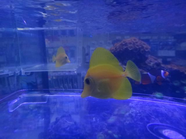 121121 海水魚・サンゴ・水草・淡水魚_f0189122_12513524.jpg