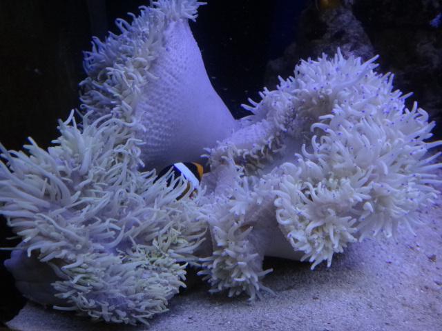121121 海水魚・サンゴ・水草・淡水魚_f0189122_12553779.jpg