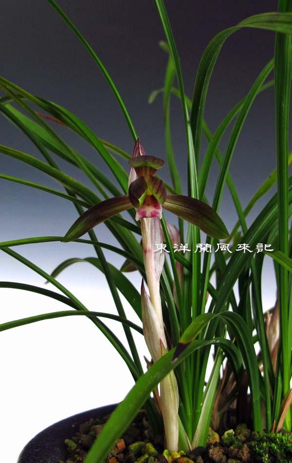 日本春蘭「紫天龍」                  No.1219_d0103457_0561925.jpg