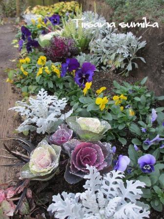花壇にキラキラ葉牡丹お仲間入りで華やかに~☆彡_a0243064_12422322.jpg
