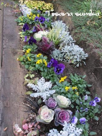 花壇にキラキラ葉牡丹お仲間入りで華やかに~☆彡_a0243064_12425978.jpg