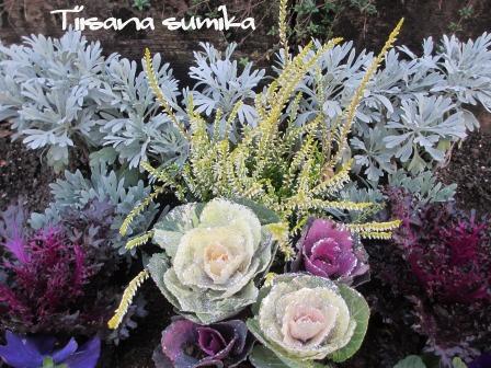 花壇にキラキラ葉牡丹お仲間入りで華やかに~☆彡_a0243064_12433484.jpg
