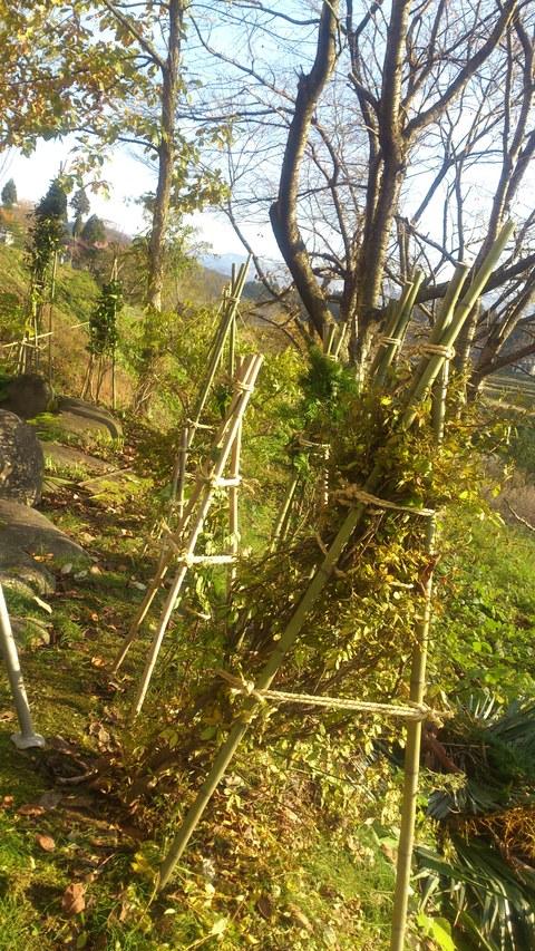 新柳の冬囲い完了。_d0182179_16114076.jpg
