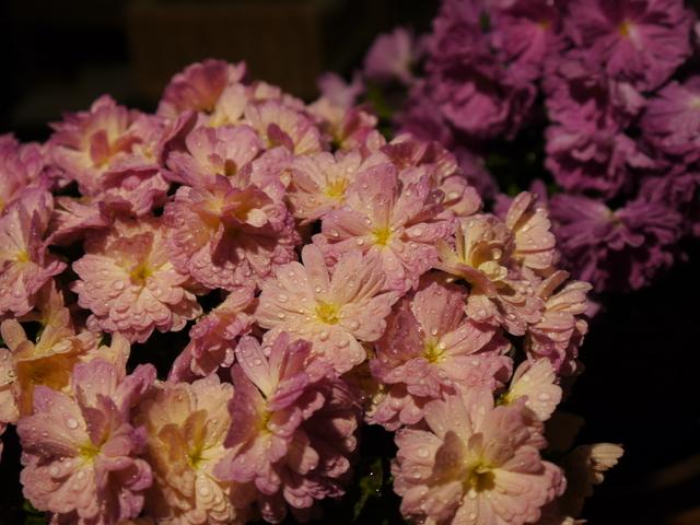 【観察日記】ガーデンマムとモウセンゴケ_e0149596_20405251.jpg
