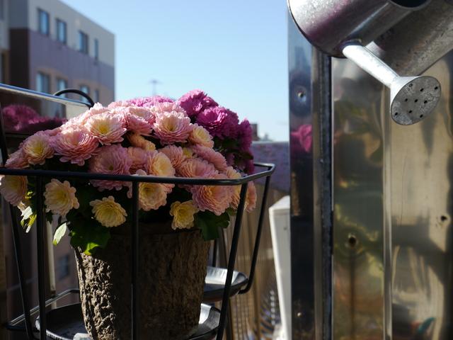 【観察日記】ガーデンマムとモウセンゴケ_e0149596_2043430.jpg
