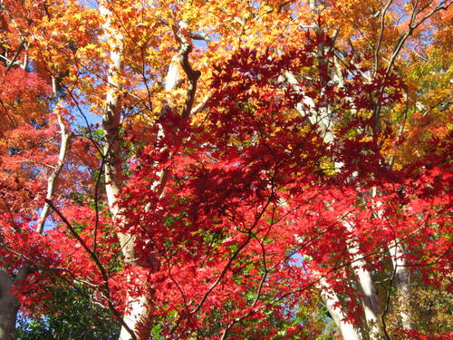 紅葉の高尾山_a0180279_18423772.jpg