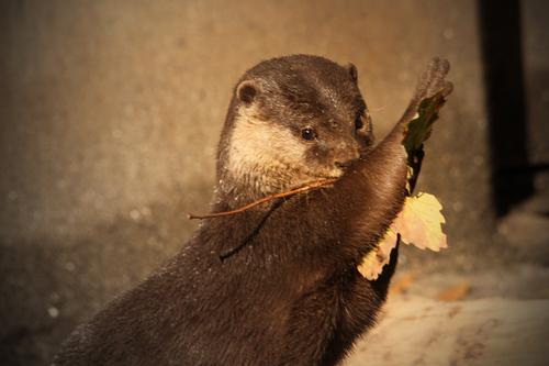 コツメカワウソ:Asian Short-clawed otter_b0249597_13364827.jpg