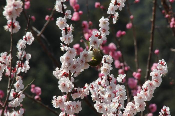 2012.3.29 幕山・メジロ_c0269342_18393910.jpg