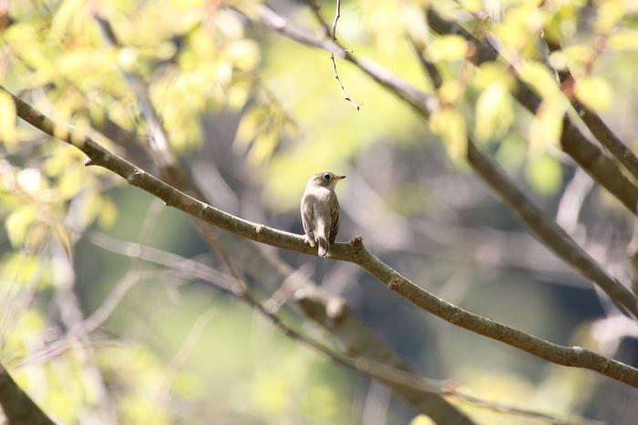 2012.5.5 丹沢湖・コサメビタキ、キセキレイ_c0269342_191516100.jpg