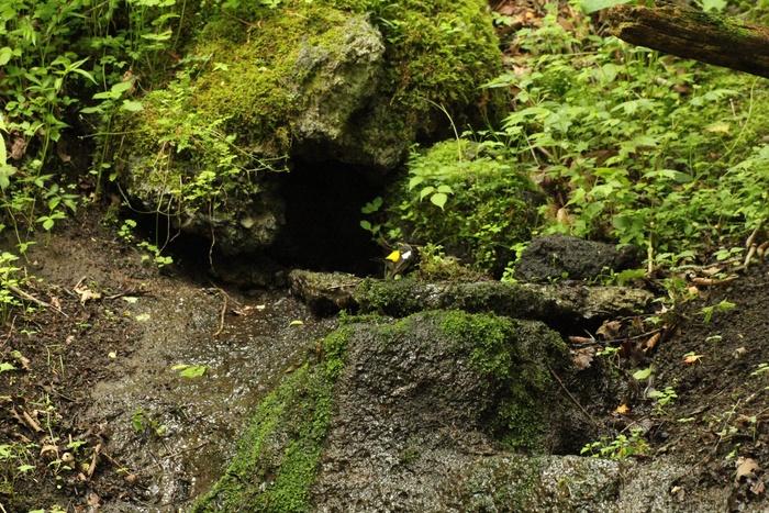 2012.6.5 大洞の泉・キビタキ、センダイムシクイ_c0269342_20385693.jpg