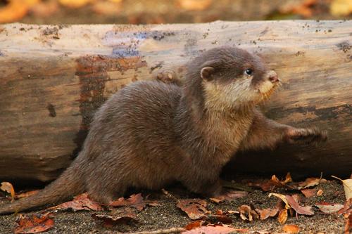 コツメカワウソ:Asian Short-clawed otter_b0249597_5193461.jpg